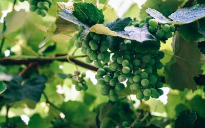 A Quick Guide for Verdicchio: What You Need to Know